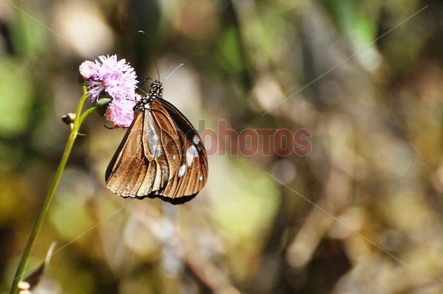 Butterfly, Sri Lanka - Read Photos