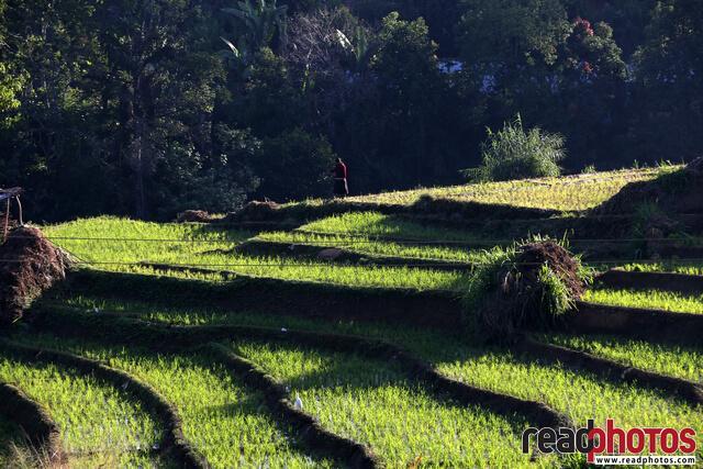Paddy fields in upcountry, Sri Lanka