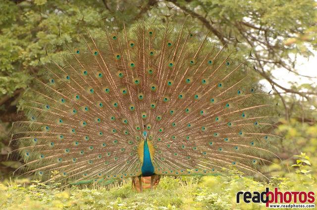 Dancing peacock, Sri Lanka - Read Photos