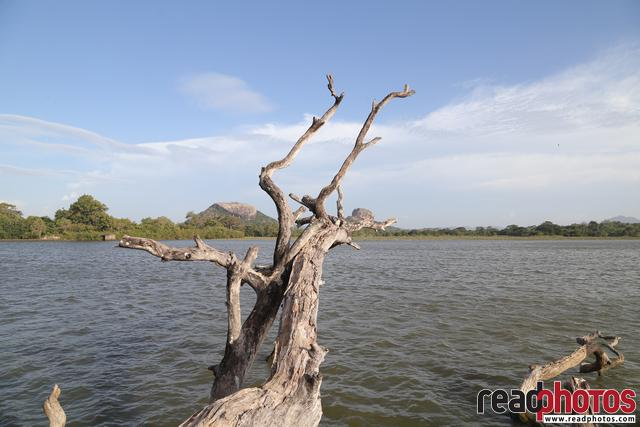 Driftwood, lake, near Sigiriya - Read Photos