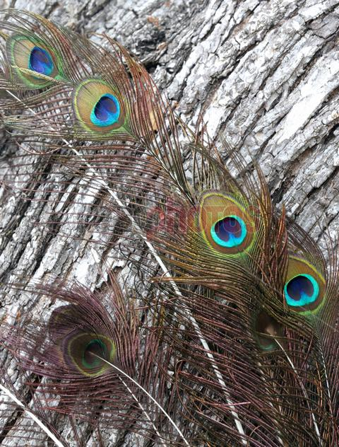 Peacock feathers  - Read Photos