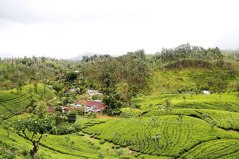 Beautiful Sri Lankan Tea Estates