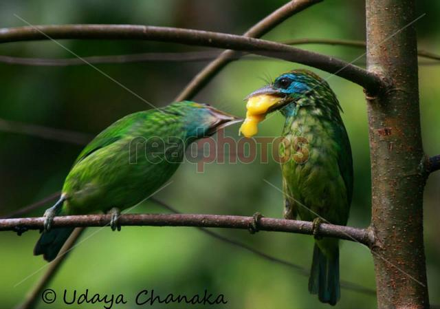 Birds eating fruits, Sri Lanka