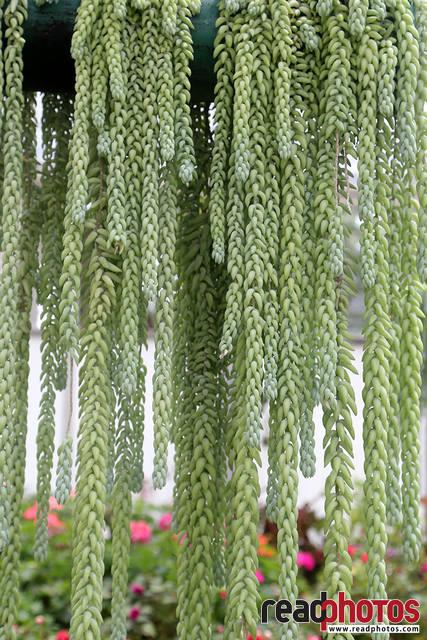 Burros tail, Thalawakale, Sri Lanka (2) - Read Photos