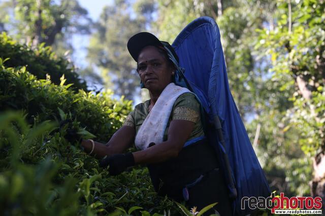Tea pluckers, Nuwara Eliya, Sri Lanka (4)