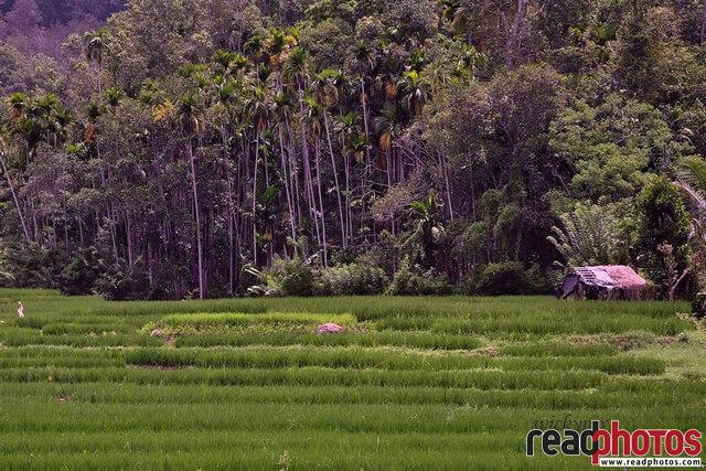 Paddy fields Sri Lanka - Read Photos
