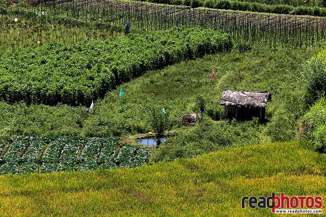 Paddy fields and vegetable farms, Sri Lanka