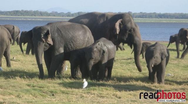 Elephant family, mobile capture, Sri Lanka - Read Photos