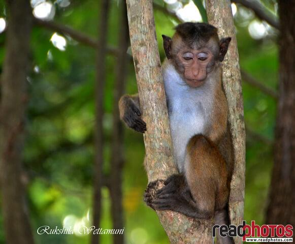 Monkeys in Sri Lanka
