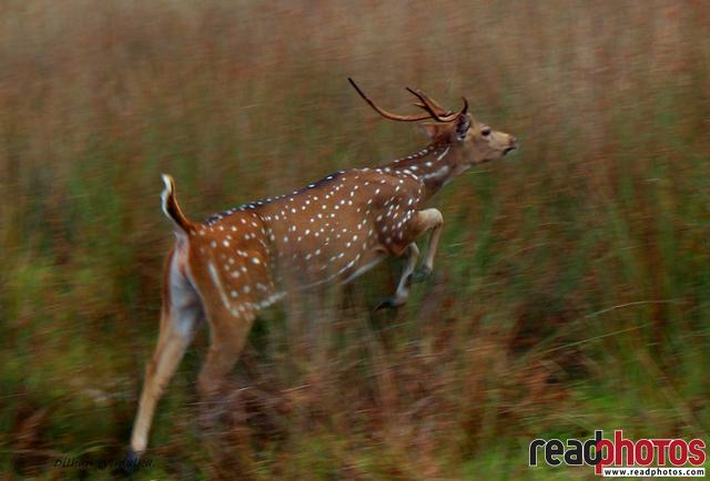 Running deer, Sri Lanka - Read Photos