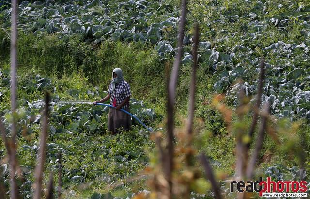 Watering vegetable plants, Badulla, Sri Lanka - Read Photos