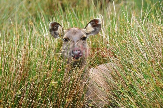 Gazing elk, Sri Lanka