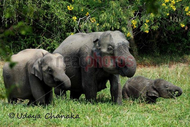 Elephant family, Sri Lanka
