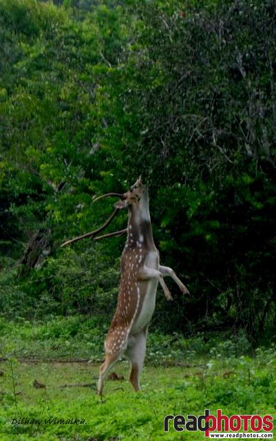 Deer standing on two legs, Sri Lanka