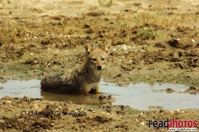 Little fox in mud, Sri Lanka