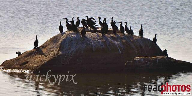 Group of cormorants, Sri Lanka