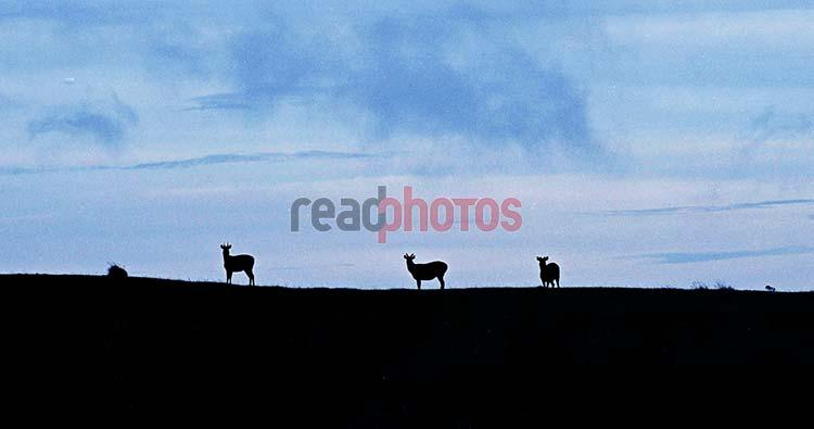 Deers - Read Photos