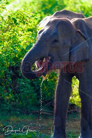 Water drinking wild  elephant, Sri Lanka