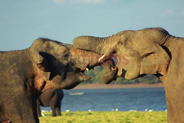 Elephants Playing, Sri Lanka