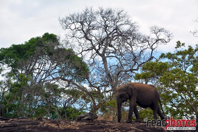 Lone elephant, cloudy sky, trees, Sri Lanka