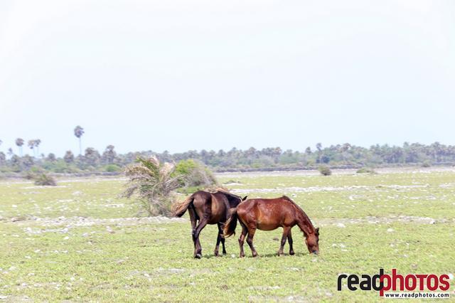 Horses at delf, Sri Lanka
