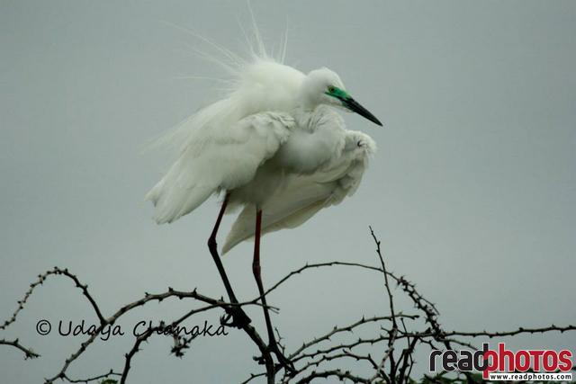 Snowy egret, Sri Lanka - Read Photos
