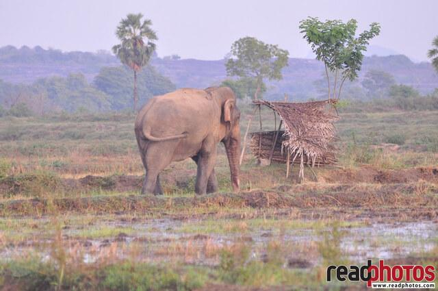 Lone wild elephant on a paddy field, Sri Lanka