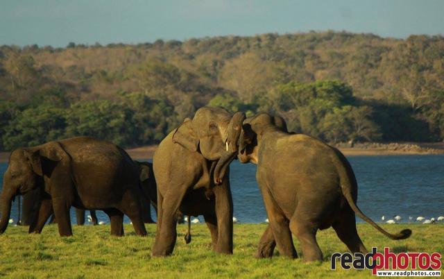 Elephant fight, Sri Lanka