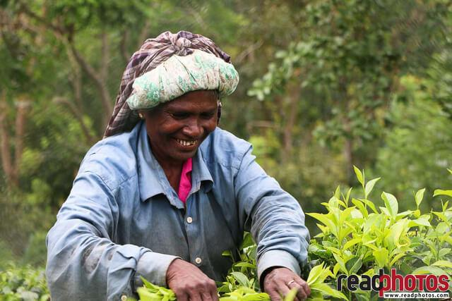 Tea plucking happy lady, Sri Lanka