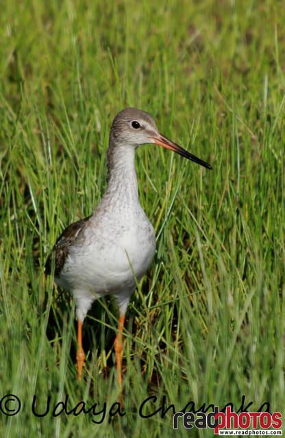 Greater yellowlegs in Sri Lanka