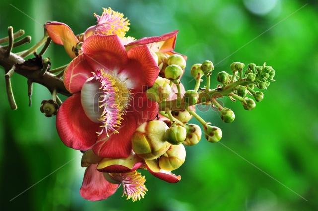 Sal flower, Sri Lanka - Read Photos