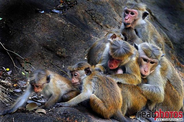 Monkeys, Sri Lanka
