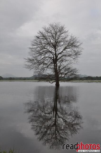 Tree reflected on a lake, Sri Lanka