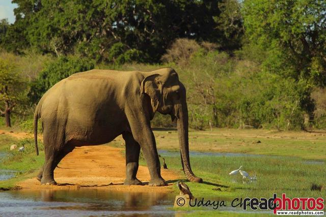 Lone elephant, lake, Sri Lanka  - Read Photos