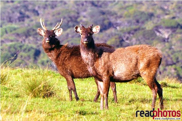 Two elks in Horton place, Sri Lanka