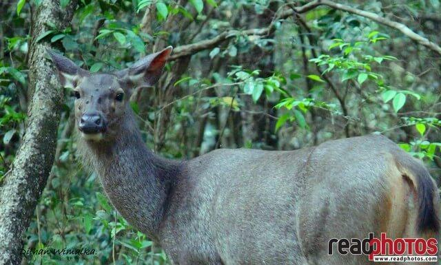 Elk in a forest, Sri Lanka - Read Photos