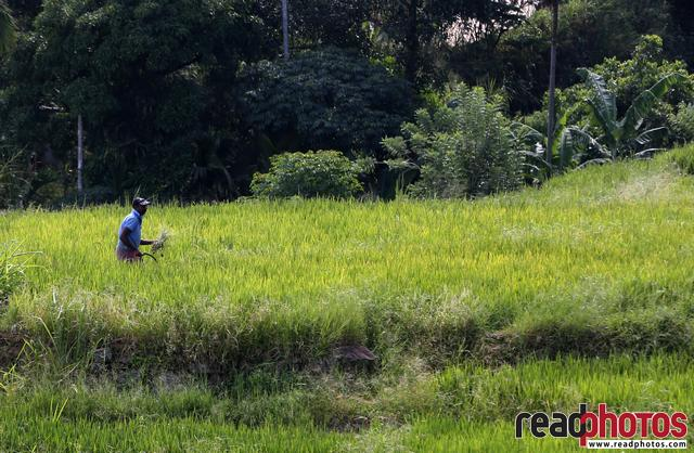 Farmer working in paddy fields, Sri Lanka