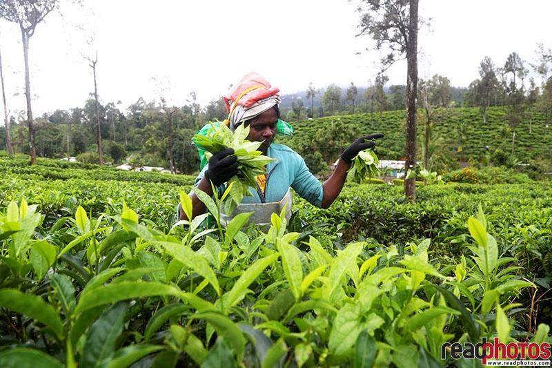 Tea plucking lady - Read Photos
