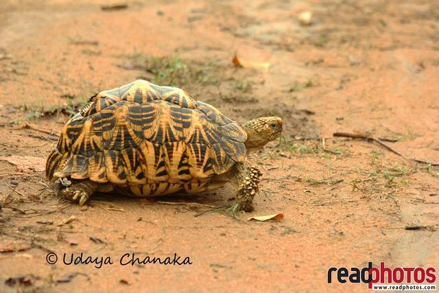 Star tortoise, Sri Lanka - Read Photos