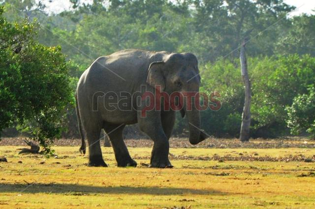 Elephant, Sri Lanka - Read Photos