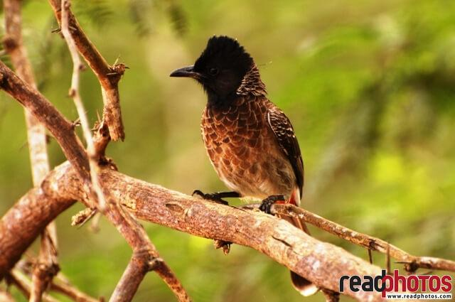 Common bird in Sri Lanka - Read Photos