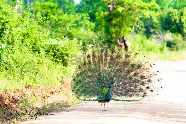 Dancing peacock, Sri Lanka