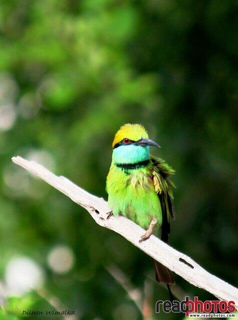colorful bird, Sri Lanka