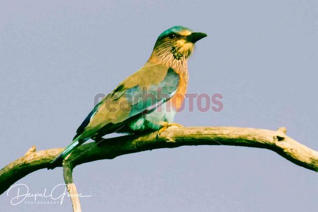Rare bird, Sri Lanka