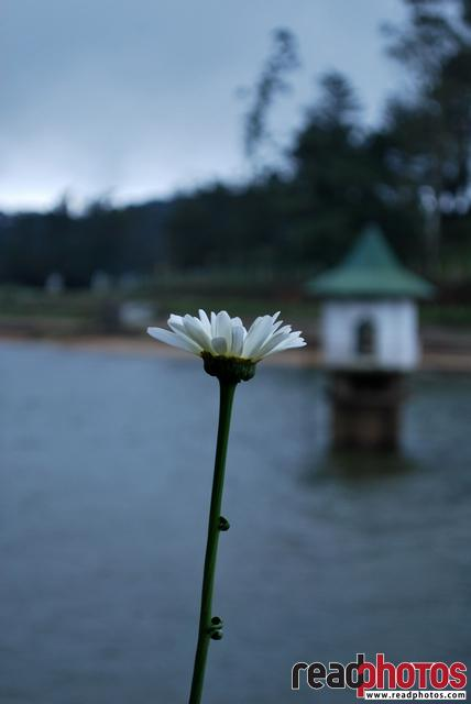 Lonely flower in a Lake, Sri Lanka