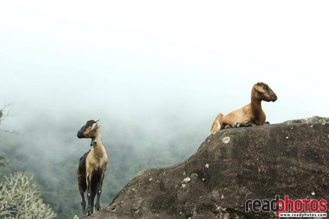 Mountain goats, Sri Lanka