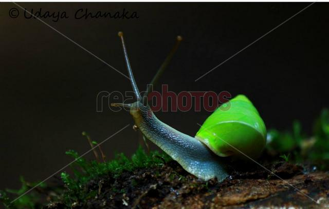 Green Snail, Sri Lanka - Read Photos