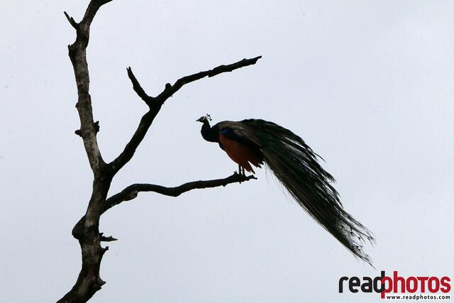Lonely peacock on a old tree branch, Sri Lanka - Read Photos