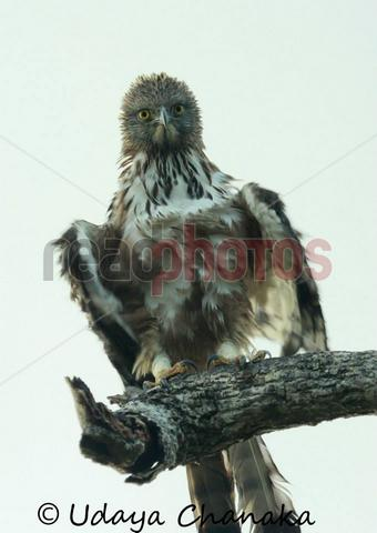 Gazing eagle, Sri Lanka - Read Photos