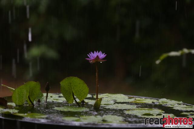Lotus flower, Rainy day, Sri Lanka